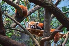 Ένα ζευγάρι της κόκκινης Panda που στηρίζεται στο άτομο έκανε την υποστήριξη μπαμπού στοκ εικόνα