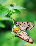 Ένα ζευγάρι του ζευγαρώματος των πεταλούδων στοκ φωτογραφία με δικαίωμα ελεύθερης χρήσης