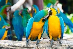 Ένα ζευγάρι του μπλε-και-κίτρινου macaws που σκαρφαλώνει στον ξύλινο κλάδο στο jung Στοκ Φωτογραφία