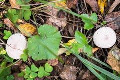 Ένα ζευγάρι του νέου Lycoperdon perlatum ξεφυτρώνει γνωστός ως κοινό puffball Στοκ εικόνα με δικαίωμα ελεύθερης χρήσης