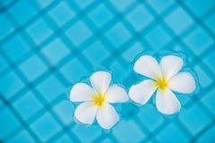 Ένα ζευγάρι του τροπικού plumeria ανθίζει στην μπλε πισίνα Στοκ Φωτογραφία
