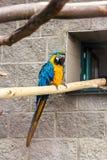 Ένα ζευγάρι του ararauna ara μπλε-και-κίτρινου macaws εσκαρφάλωσε στη ζούγκλα Στοκ φωτογραφία με δικαίωμα ελεύθερης χρήσης