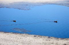 Ένα ζευγάρι των άγριων μεταναστευτικών παπιών σταμάτησε για να στηρίζεται στο νερό Άνοιξη Μεταναστευτικός πρασινολαίμης στοκ εικόνες