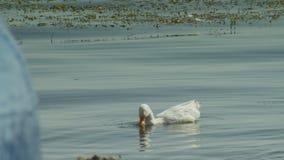 Ένα ζευγάρι των άσπρων κύκνων κολυμπά στη λίμνη της Οχρίδας απόθεμα βίντεο