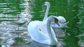 Ένα ζευγάρι των άσπρων κύκνων κολυμπά στο νερό, κύκνοι στη λίμνη, σε αργή κίνηση απόθεμα βίντεο