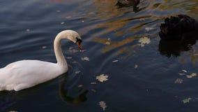 Ένα ζευγάρι των άσπρων κύκνων που κολυμπούν σε μια λίμνη σε ένα πάρκο πόλεων φιλμ μικρού μήκους