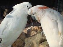 Ένα ζευγάρι των άσπρων παπαγάλων από κοινού στοκ φωτογραφίες