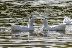 Ένα ζευγάρι των άσπρων παπιών Pekin επίσης γνωστό ως πάπιες Aylesbury ή Long Island στοκ φωτογραφίες