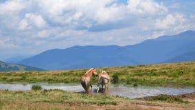 Ένα ζευγάρι των αλόγων λούζει σε μια λίμνη βουνών άνδρας αγάπης φιλιών έννοιας στη γυναίκα απόθεμα βίντεο