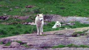 Ένα ζευγάρι των αρκτικών λύκων την άνοιξη φιλμ μικρού μήκους