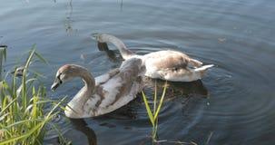 Ένα ζευγάρι των γκρίζων κύκνων κολυμπά στη λίμνη απόθεμα βίντεο