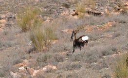 Ένα ζευγάρι των ευρωπαϊκών deers αυγοτάραχων στοκ εικόνες