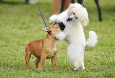 Ένα ζευγάρι των διαφορετικών σκυλιών κουταβιών φυλής γενεαλογικών εύθυμων που παίζει από κοινού στοκ εικόνες