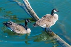 Ένα ζευγάρι των καναδικών χήνων Στοκ Εικόνες
