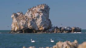 Ένα ζευγάρι των κύκνων και ένα croud των κορακιών θάλασσας στους βράχους θάλασσας 4K απόθεμα βίντεο