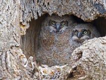 Ένα ζευγάρι των μεγάλων κερασφόρων κουκουβαγιών Owlets στη φωλιά στοκ εικόνες