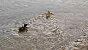 Ένα ζευγάρι των παπιών κολυμπά στο νερό λιμνών φιλμ μικρού μήκους