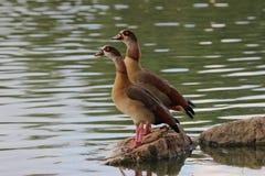 Ένα ζευγάρι των παπιών που στέκεται σε έναν βράχο στη λίμνη στοκ εικόνες