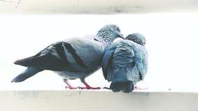 Ένα ζευγάρι των περιστεριών αγκαλιάζει στοργικά στον τοίχο Υπαίθριος στην ημέρα τη θερινή ημέρα φιλμ μικρού μήκους