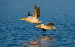 Ένα ζευγάρι των πελεκάνων που πετούν πέρα από το νερό Λίμνη Nakuru Κένυα Αφρική Στοκ Εικόνες