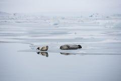 Ένα ζευγάρι των σφραγίδων Στοκ φωτογραφίες με δικαίωμα ελεύθερης χρήσης