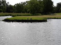 Ένα ζευγάρι των χήνων που παίρνουν έναν περίπατο στο πάρκο στοκ φωτογραφίες με δικαίωμα ελεύθερης χρήσης