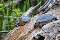 Ένα ζευγάρι των χρωματισμένων χελωνών Στοκ εικόνες με δικαίωμα ελεύθερης χρήσης