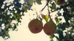 Ένα ζευγάρι των ώριμων αχλαδιών που κρεμούν σε έναν κλάδο δέντρων, αχλάδια στον ήλιο φιλμ μικρού μήκους