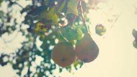 Ένα ζευγάρι των ώριμων αχλαδιών που κρεμούν σε έναν κλάδο δέντρων, αχλάδια στον ήλιο απόθεμα βίντεο