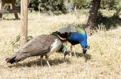 Ένα ζευγάρι των peacocks Στοκ Φωτογραφίες