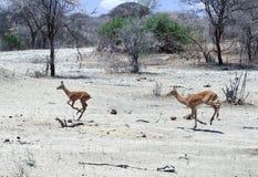 Ένα ζευγάρι Impalas που τρέχει γρήγορα το Tom Wurl Στοκ εικόνες με δικαίωμα ελεύθερης χρήσης