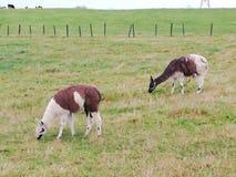 Ένα ζευγάρι llamas της σίτισης στοκ φωτογραφία με δικαίωμα ελεύθερης χρήσης