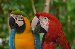 Ένα ζευγάρι Macaws Στοκ εικόνα με δικαίωμα ελεύθερης χρήσης