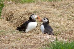 Ένα ζευγάρι Puffins κοντά στη φωλιά τους Στοκ Φωτογραφία