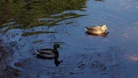 Ένα ζεύγος παπιών και οι αντανακλάσεις τους που καλοπιάνουν στις σκιές στη χειμερινή λίμνη απόθεμα βίντεο