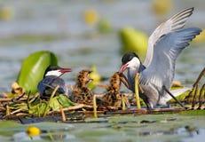 Ένα ζεύγος το στέρνα που ταΐζει με λίγο ψάρι δύο χαριτωμένους νεοσσούς στη φωλιά Στοκ Εικόνες