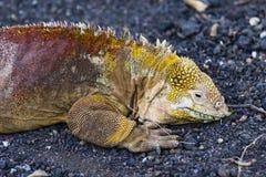 Ένα ζωηρόχρωμο έδαφος Iguana στο έδαφος Στοκ φωτογραφίες με δικαίωμα ελεύθερης χρήσης