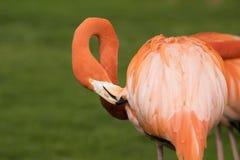 Ένα ζωηρόχρωμο πουλί φλαμίγκο που καθαρίζει τα φτερά του στοκ φωτογραφίες με δικαίωμα ελεύθερης χρήσης