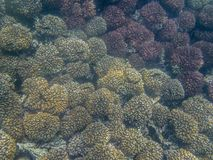 Ένα ζωηρόχρωμο σχολείο των τροπικών ψαριών στην κοραλλιογενή ύφαλο στο Ομάν Στοκ Εικόνα