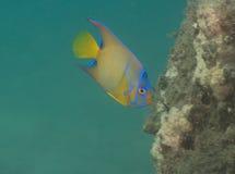 Ένα ζωηρόχρωμο τροπικό ψάρι που αιωρείται κοντά στο σκόπελο Στοκ φωτογραφία με δικαίωμα ελεύθερης χρήσης