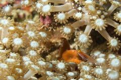 Ένα ζωηρόχρωμο ψάρι στη σκληρή μακροεντολή κοραλλιών στο Κεμπού Φιλιππίνες Στοκ Εικόνες