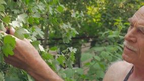 Ένα ηλικιωμένο άτομο συλλέγει μια συγκομιδή της μαύρης σταφίδας από έναν θάμνο στον κήπο φιλμ μικρού μήκους