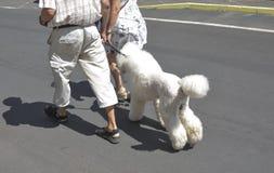 Ένα ηλικιωμένο ζεύγος περπατά με άσπρο poodle της σε ένα λουρί στοκ φωτογραφίες