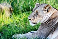 Ένα θηλυκό λιοντάρι στηρίζεται γύρω από ένα πάρκο στη Ζιμπάμπουε Στοκ φωτογραφία με δικαίωμα ελεύθερης χρήσης