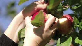 Ένα θηλυκό μαδά με το χέρι ένα κόκκινο μήλο από έναν κλάδο δέντρων μηλιάς απόθεμα βίντεο