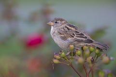 Ένα θηλυκό domesticus πομπών σπουργιτιών σπιτιών εσκαρφάλωσε σε έναν κλάδο ενός θάμνου ροδαλών ισχίων Πίσω από το πουλί ένα όμορφ στοκ εικόνες
