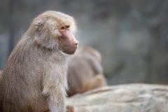 Ένα θηλυκό baboon hamadryas πορτρέτο Στοκ εικόνες με δικαίωμα ελεύθερης χρήσης