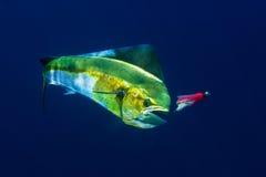Ένα θηλυκό Mahi Mahi ή δελφίνι βάζει επάνω μια πάλη στοκ φωτογραφίες