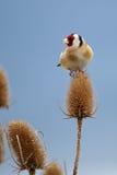 Ένα θριαμβευτικό Goldfinch απολαμβάνει την ανταμοιβή του Στοκ Εικόνες