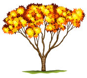 Ένα ιαπωνικό δέντρο σφενδάμνου bloodgood Στοκ φωτογραφίες με δικαίωμα ελεύθερης χρήσης
